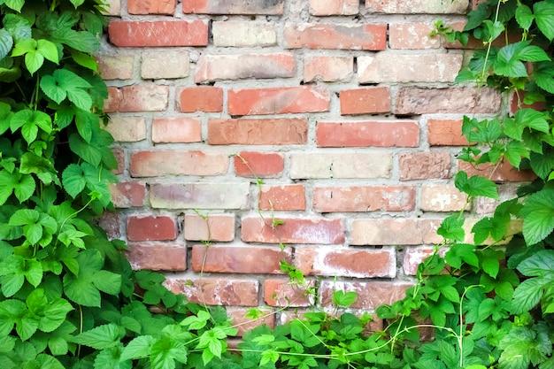 Groene hopinstallatie die op oude bakstenen muur beklimt. kopieer ruimte