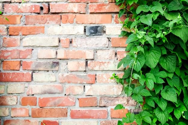 Groene hopinstallatie die op oude bakstenen muurachtergrond beklimt