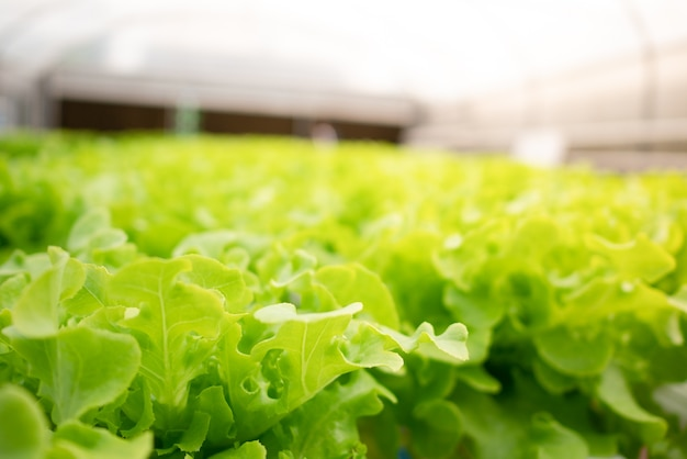 Groene hydroponic eikenblad in glasboerderij