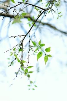 Groene jonge bladeren. zonnige dag en lente aard achtergrond. pasen-concept. ruimte kopiëren.