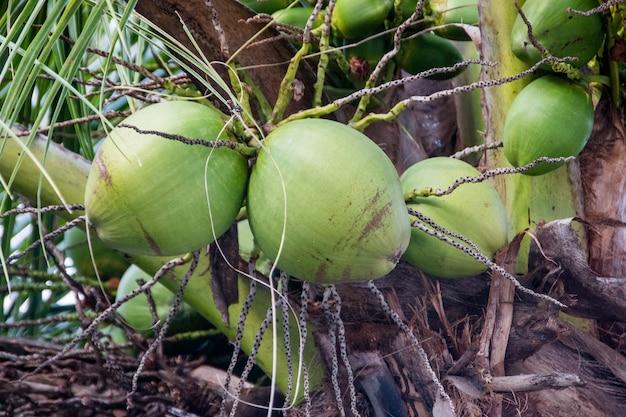 Groene kak in een kokospalm in rio de janeiro, brazilië.