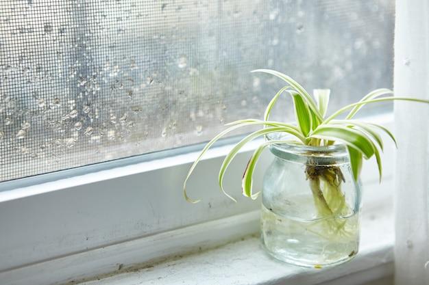 Groene kamerplant in een glazen pot op een vensterbank op een regenachtige dag