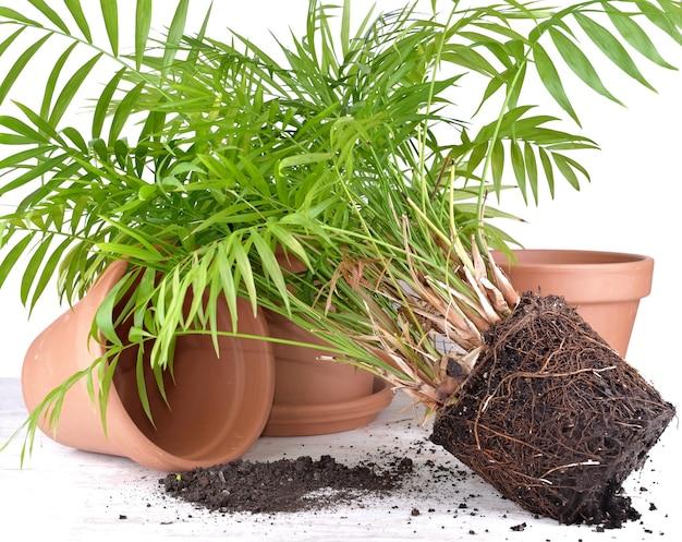 Groene kamerplant met terracotta potten op een tafel om te verpotten