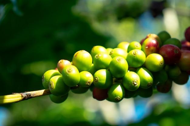 Groene kers van arabica koffie op boerderij