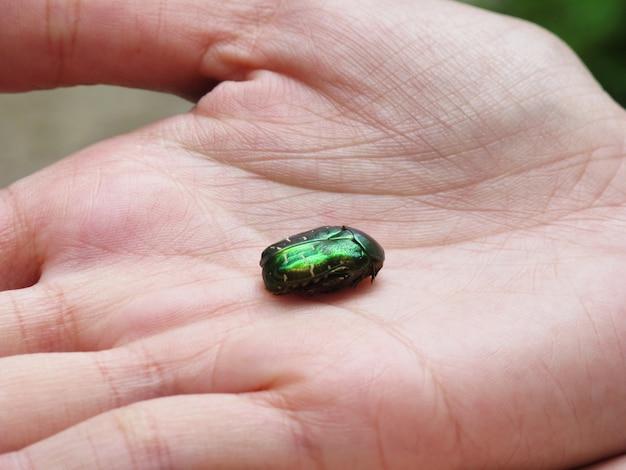 Groene kever scarabee
