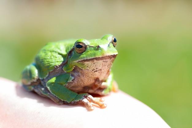 Groene kikker met grasachtergrond