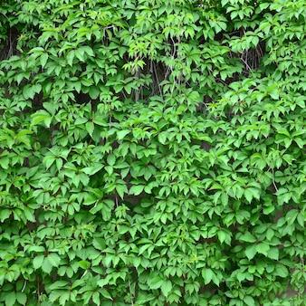 Groene klimop groeit langs de beige muur van geschilderde tegels. textuur van dichte struikgewas van wilde klimop