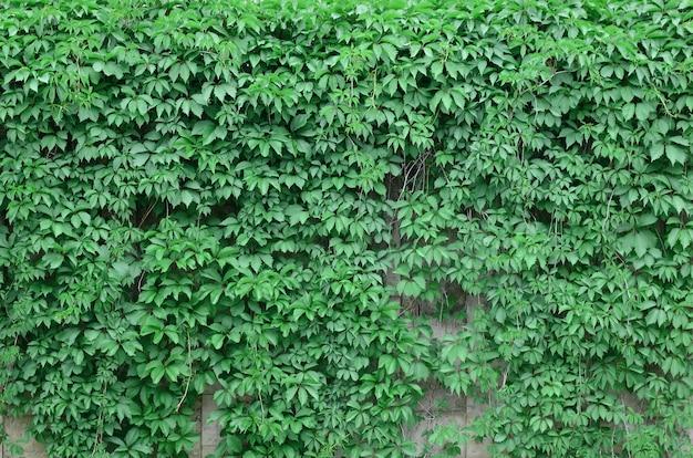Groene klimop groeit langs de beige muur van geschilderde tegels