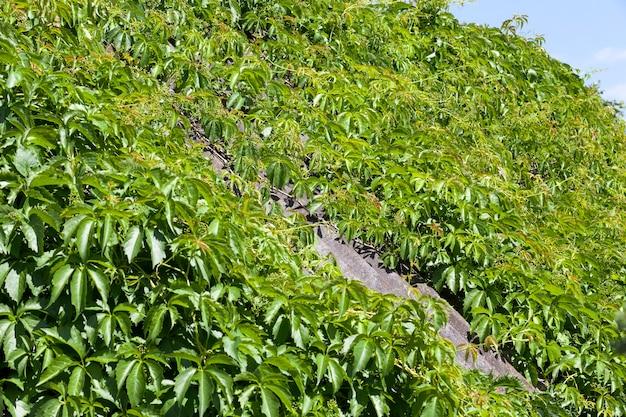 Groene klimop groeit op een dak van leigrijs