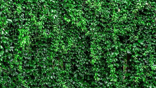 Groene klimop klim op het hek muur.