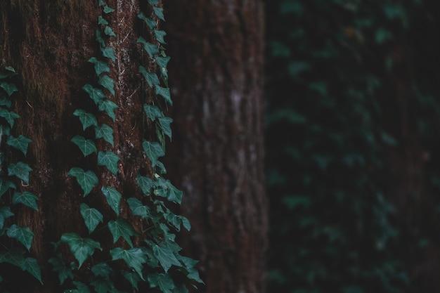 Groene klimop plant op een stam van een boom in een bos