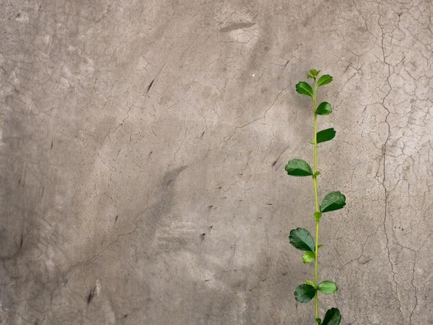 Groene klimplant klimmen op de oude betonnen muur