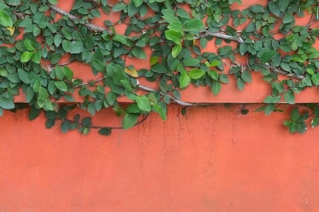 Groene klimplant op oranje betonnen muur