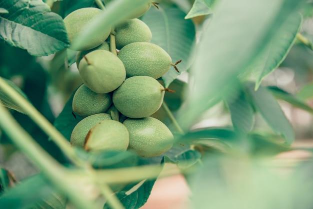 Groene koffiebonen groeien aan een boom