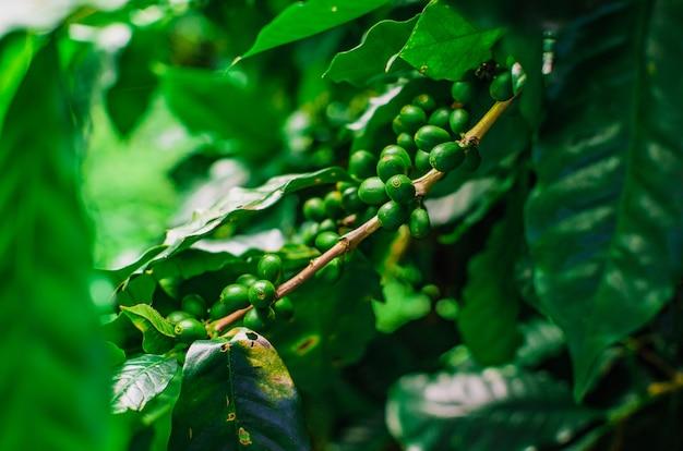 Groene koffiebonen in de plant