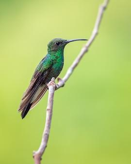 Groene kolibrie zat op een verticale tak met een mooie achtergrond