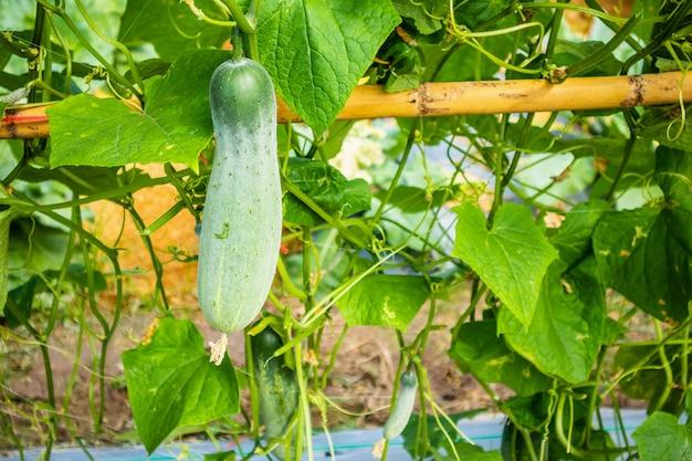 Groene komkommer groeien in biologische tuin