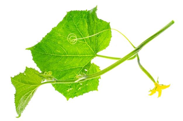 Groene komkommerspruit met eierstok en bladeren.