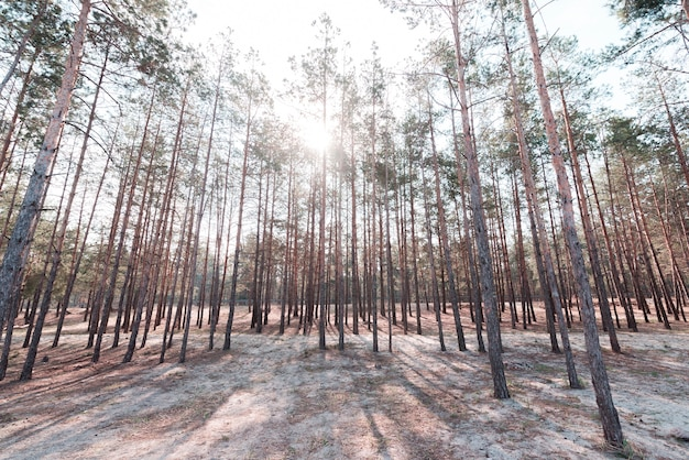 Groene lange bomen in het bos