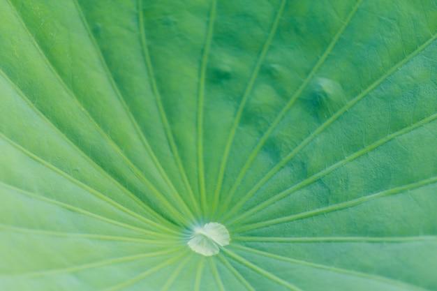 Groene lotus-de achtergrond van de bladtextuur