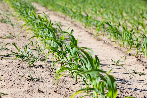 Groene maïs. lente - landbouwgebied met het groeien van groene maïs. voorjaar.