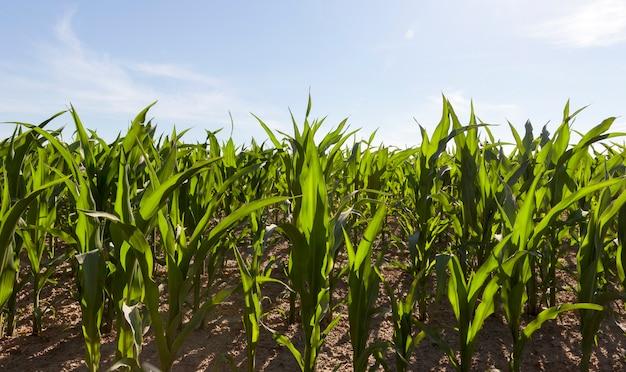 Groene maïs op het veld aan het einde van de lente en het vroege najaar, de gemiddelde grootte van de volwassen
