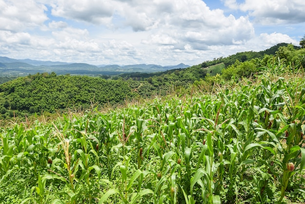 Groene maïs veld in plantage landbouw aziatische blauwe hemelachtergrond