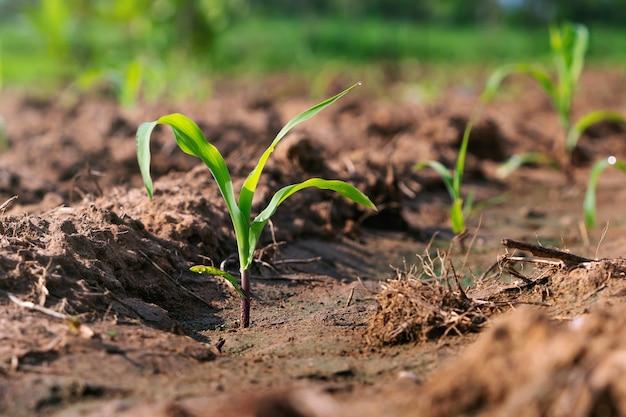 Groene maïsplant op veld in ochtendlicht