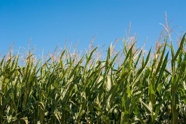 Groene maïsplanten tegen de blauwe lucht, hoge stengels