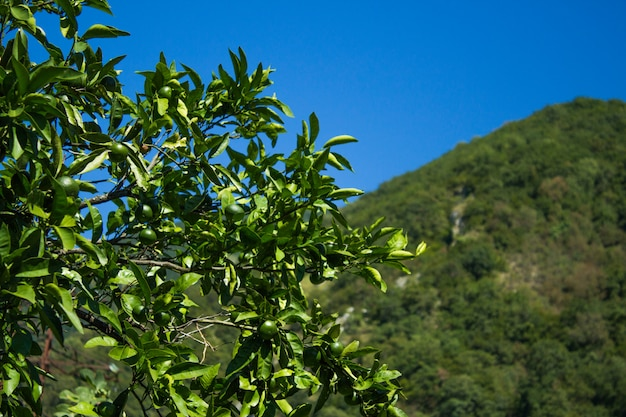 Groene mandarijnen opknoping van een boom