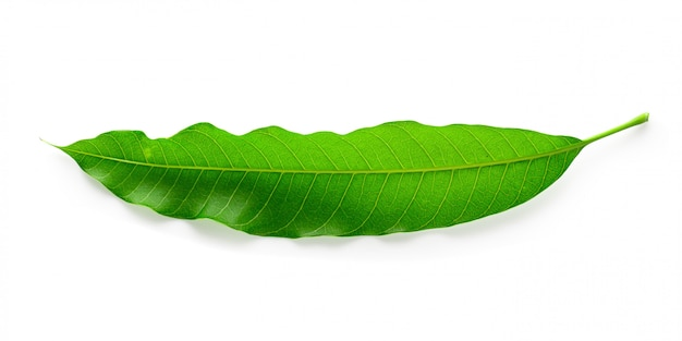 Groene mango bladeren geïsoleerd