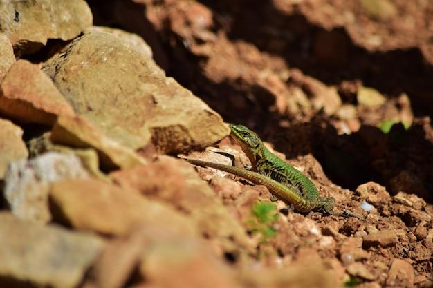 Groene mannelijke maltese muurhagedis, podarcis filfolensis maltensis, die zijn nest bewaakt.