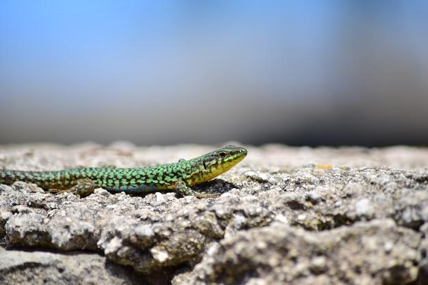 Groene mannelijke maltese muurhagedis, podarcis filfolensis maltensis, zonnebaden op een muur