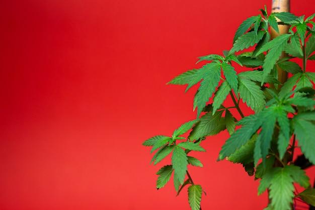 Groene marihuanastruik voor het roken van verdovende wiet.