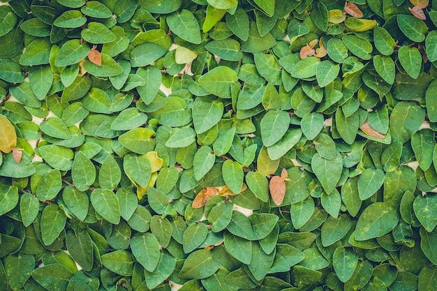 Groene muur achtergrond van een tuin Premium Foto