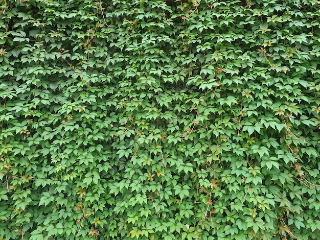 Groene muur achtergrond