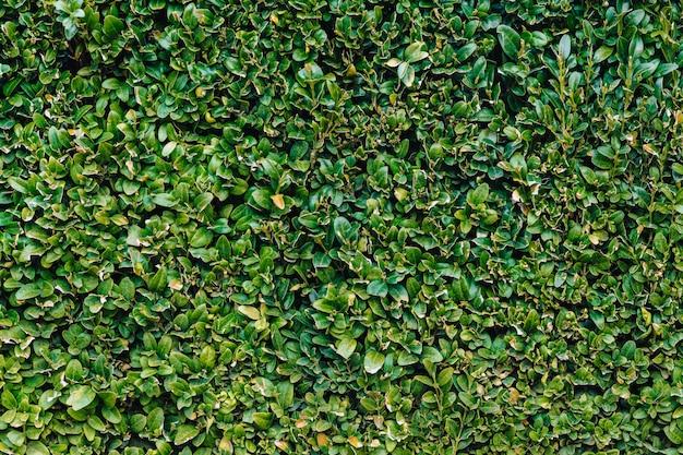 Groene muur van bladeren