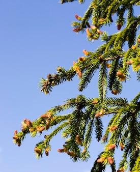 Groene naalden op de sparren die bloeien in het lenteseizoen, delen van planten bij warm weer, in het bos