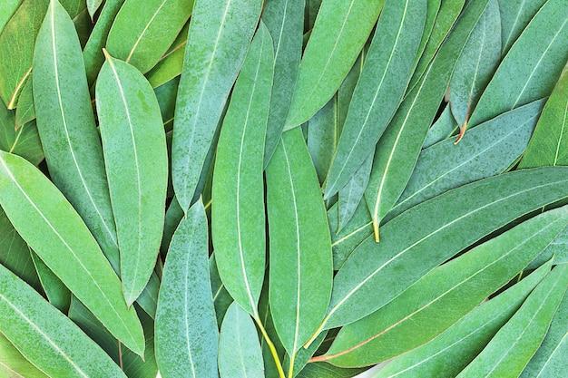 Groene natuurachtergrond van eucalyptusbladeren