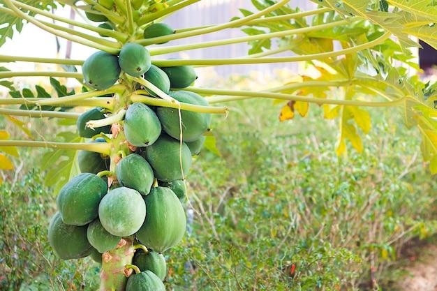 Groene natuurlijke rauwe tropische papaja-planten groeien, hangen aan boom in azië, vietnam of thailand. frisse zomer rijp bos van fruit. papaya plantage in de tuin. landbouwvruchten in biologische boerderij. oogsten