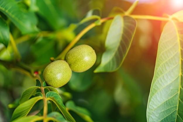 Groene noten op een boom in de natuur