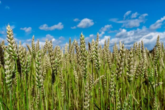 Groene onrijpe korenaren tegen blauwe hemel