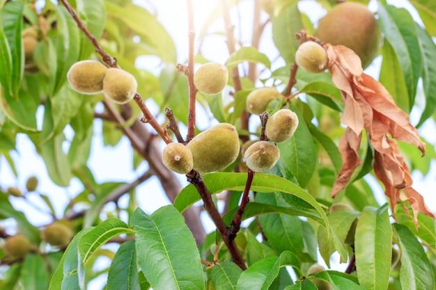 Groene onrijpe perziken op de boom onder zonneschijn