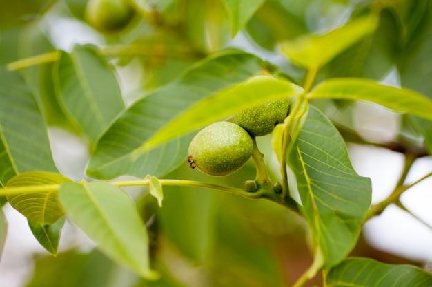 Groene onrijpe walnoten hangen aan een boom op een zonnige dag.