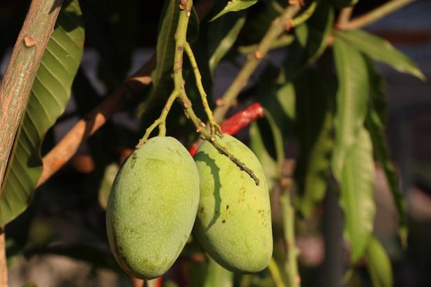 Groene organische mangoboom
