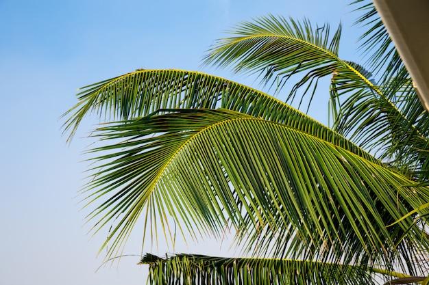 Groene palmtak, blauwe hemel op achtergrond, ceylon. landschap van sri lanka