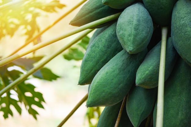Groene papaja die van de boom hangt