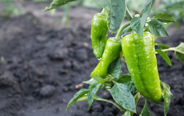 Groene paprika met waterdruppels