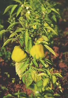 Groene paprikaplanten groeien in de tuin