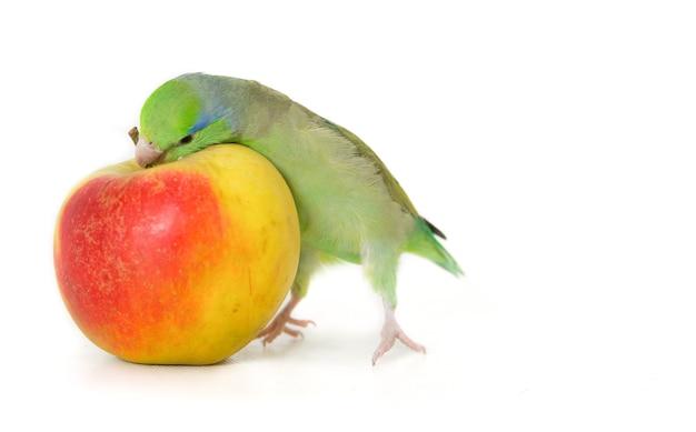 Groene parkiet met appel, geïsoleerd op wit